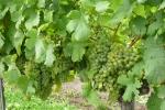 Weissenkirchen in der Wachau - vinice